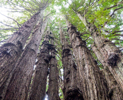 Shrine to nature – The Redwoods